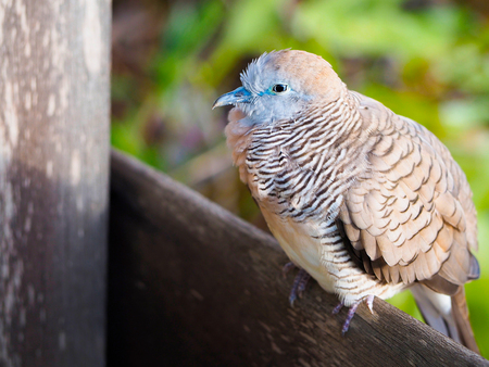 The zebra dove or Geopelia striata on a piece of wood in the garden.