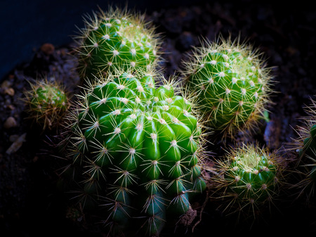 Cactus is a plant in the desert and can live even in the dry arid. Stock Photo