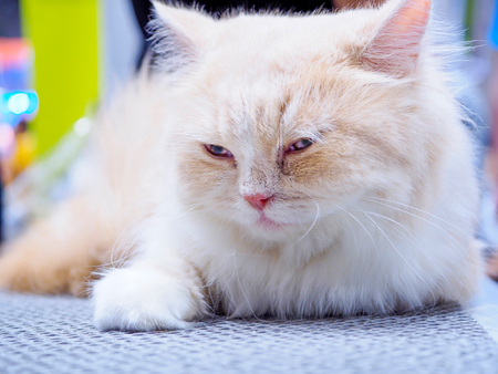 Persian cat sleeping on a mesh floor, Selective focus. Banque d'images