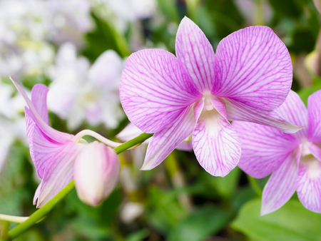 Light purple orchid flower in garden, found in Thailand.