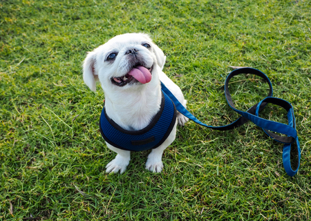 The white pug dog with leash sitting on the green grass, Waiting command.