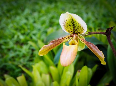 Rare Paphiopedilum orchid flower found in Thailand.