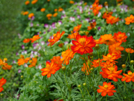 Close up orange cosmos flowers in a park on a spring day, Selective focus. Foto de archivo