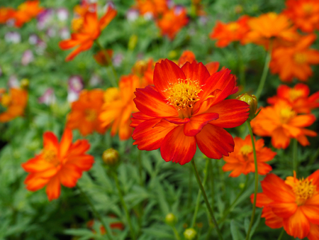 Close up orange cosmos flowers in a park on a spring day, Selective focus. Stock Photo