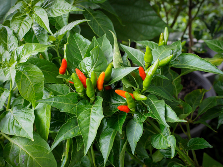 Red hot chili peppers on the tree in organic farm.