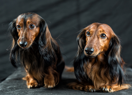 close-up portrait of two Dachshund on a dark background
