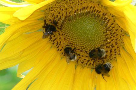 sunflower and bumbebee photo