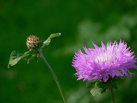 bud and violet flower