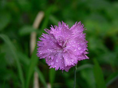 violet flower in waterdrops