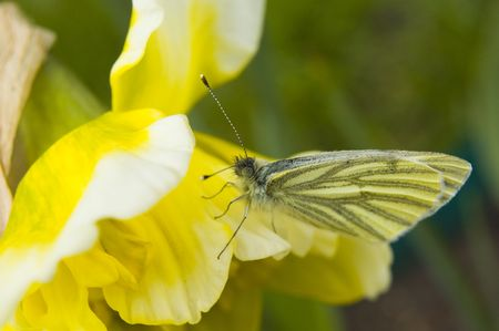 Small yellow butterfly Stock Photo