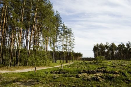 Road in forest, blue sky, green pine, sunny