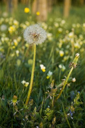 single dandelion on meadow