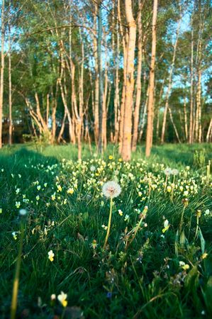 single dandelion on meadow with trees Stock Photo
