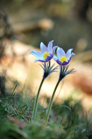 two wild pasque flower in forest, sometimes used in medicine and in homeopathy.  Stock Photo