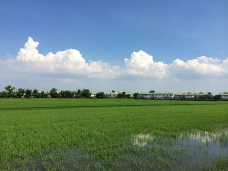 seeding: Rice seeding field in Thailand. Stock Photo