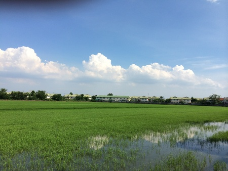 seeding: Rice seeding field in Thailand. Stock Photo