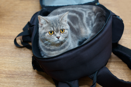 Cute light gray cat sitting in open backpacker photographer and probably saying I m going to travel with you Don t leave me alone The conceptual photo.