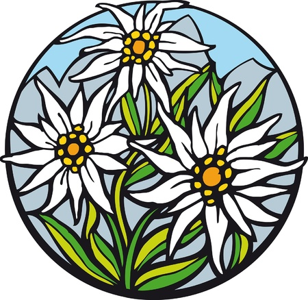 Edelweiss. There are delicate edelweiss in the mountains. Illustration