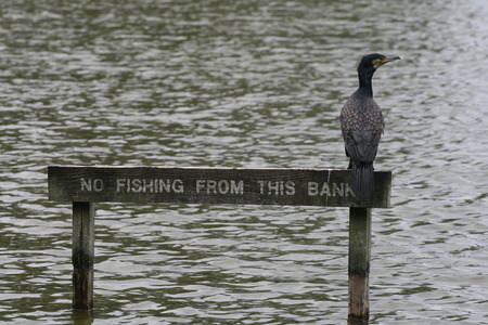 Cormorant on a No Fishing sign Stock Photo