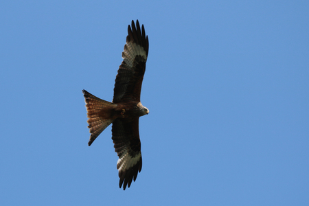 Red Kite over our camping plot in Borth - Wales. Stock Photo