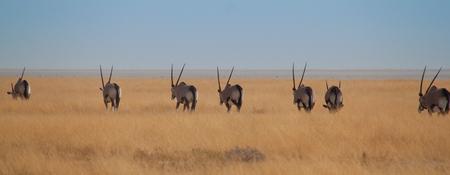 Orxy in the savannah of Namibia Stock Photo