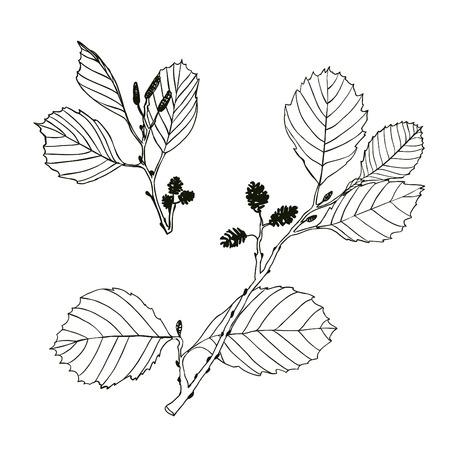 alder: Alder branches - linear vector drawing on a white background Illustration