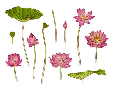 leaves vector: vector illustration of lotus flower