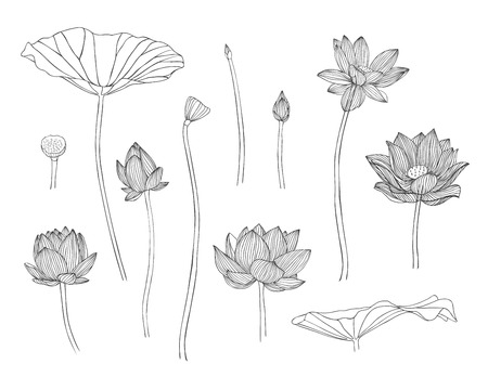 lotus leaf: Engraving hand drawn illustration of lotus flower Illustration