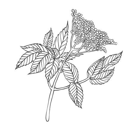 elder: elder plant - linear vector drawing on a white background Illustration