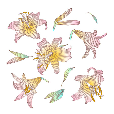 lily flowers collection: Royal lily flowers collection