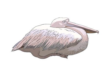 vertebrates: pelican bird. Vector illustration isolated on white background