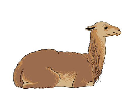 llama: alpaca (vicuna, llama), vector animal illustration Illustration