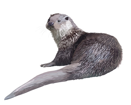 otter: Vector Realistic detailed illustration - otter (lutra)