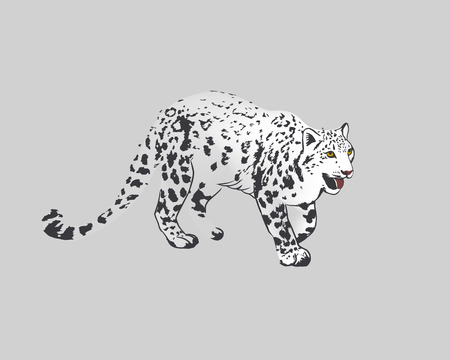 irbis: Snow Leopard Panther Uncia or Irbis. Isolated on grey background