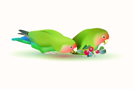 lovebirds: lovebirds agapornis fischeri . Two small parrots isolated on white background