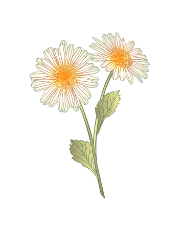 chamomile flower: Illustration of isolated on white background colorful chamomile flower.