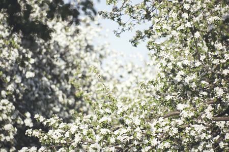 pear tree: blooming pear tree nature background. White flowers