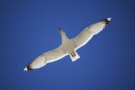 disseminate: White seagull on blue sky. Bottom view Stock Photo