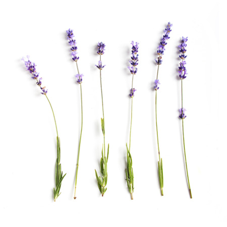 Fresh lavender flowers collection on white background 스톡 콘텐츠