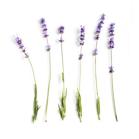flor morada: Colecci�n fresca de flores de lavanda en el fondo blanco