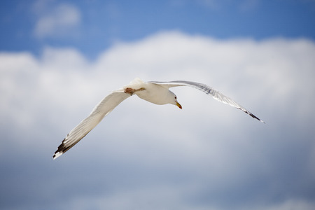 White seagull on blue sky. Bottom view Stock Photo