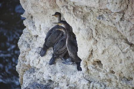 cormorant: cormorant chicks on a rock Stock Photo
