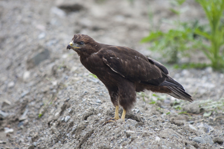 aigle royal: aigle royal (Aquila chrysaetos) oiseau sur terre