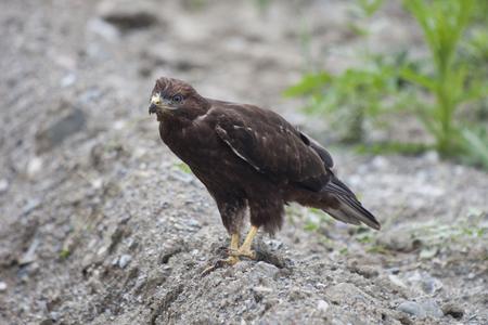 chrysaetos: golden eagle (Aquila chrysaetos) on a ground Stock Photo