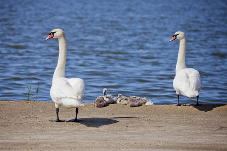progeny: White Swan couple with nestlings. Birds family Stock Photo