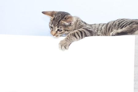 laying forward: Template for animal advertising. Kitten holding a white sheet
