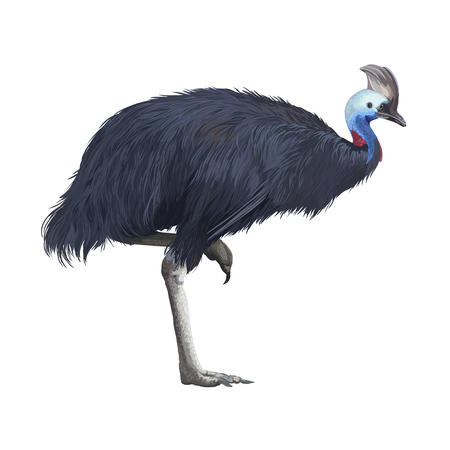 Realistic detailed vector cassowary isolated on white background