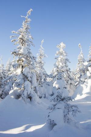 swept: Snow-covered spruces. Winter forest. Ural landscape