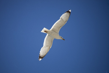 wingspan: White seagull on blue sky. Bottom view Stock Photo
