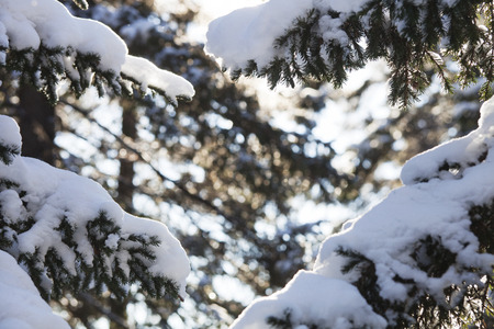 sky brunch: Snow covered fir tree branches. Winter nature